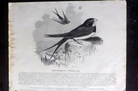 SPCK 1842 Folio Bird Print. Swallow